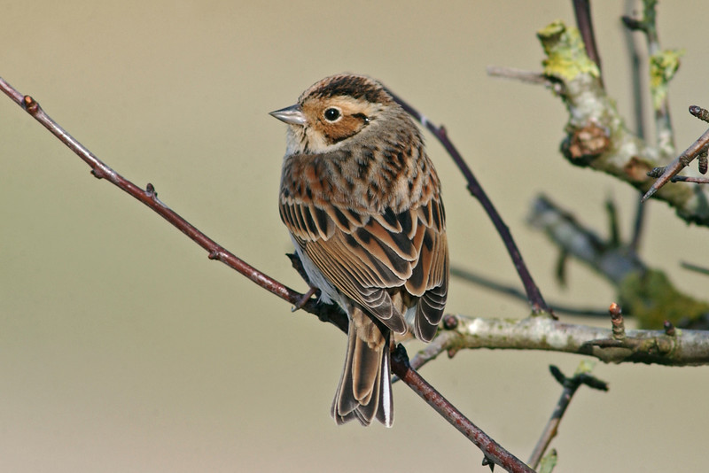 Little Bunting 1 Anglesey February 2004