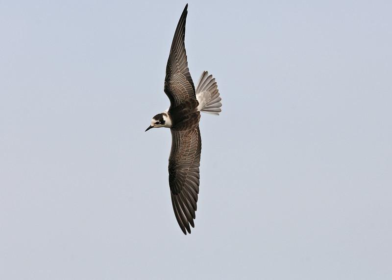 White-winged Black Tern 1 Crosby September 2005