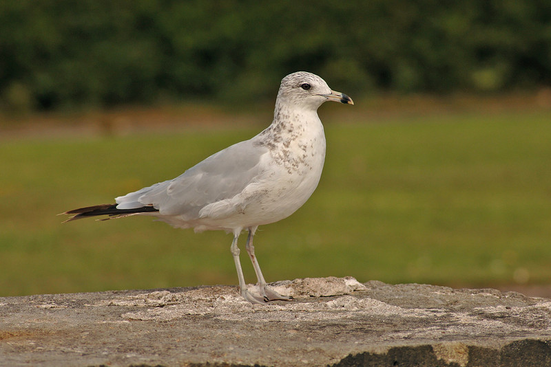 Ring-billed Gull Otterspool August 2005
