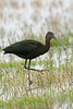 Glossy Ibis Pilling October 2006