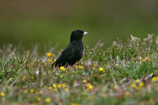 UK Rare/Scarce Birds 2003-2006