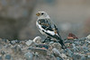Snow Bunting Seaforth April 2004