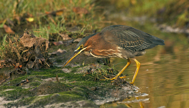 Green Heron 2 Anglesey November 2005