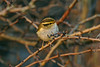 Pallas's Warbler 1 Hightown December 2006