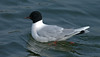 Little Gull 1 Seaforth April 2004
