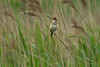 Great Reed Warbler Marton Mere May 2003