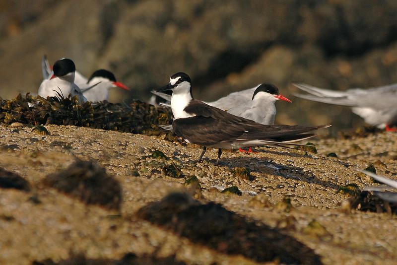 Sooty Tern 1 Skerries Wales July 2005
