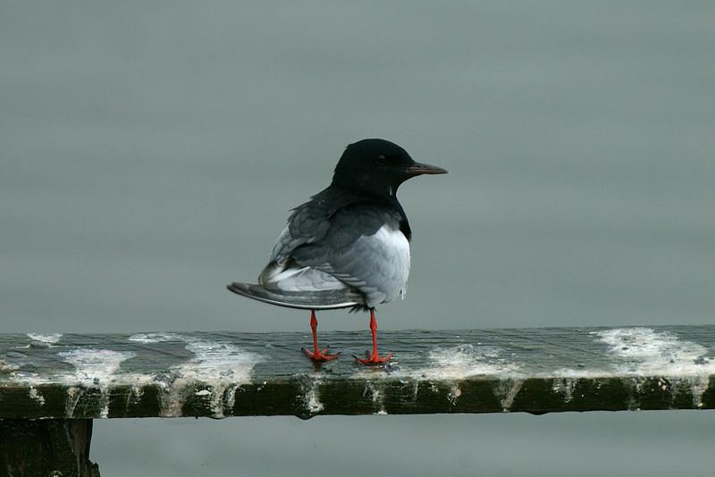 White-winged Black Tern Seaforth July 2003
