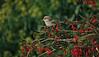 Woodchat Shrike 2 Great Orme September 2006