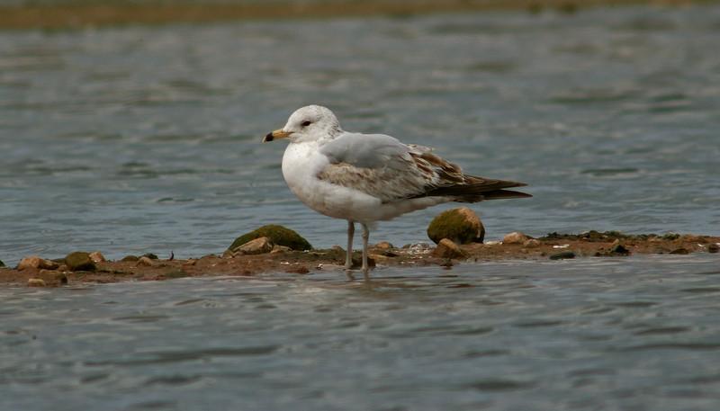 Ring-billed Gull Seaforth June 2005