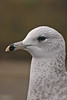 Ring-billed Gull 2 Coastguards November 2005