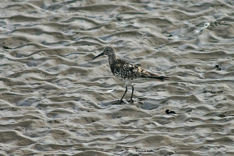 Great Knot Skippool August 2004