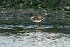 Terek Sandpiper Anglesey June 2005
