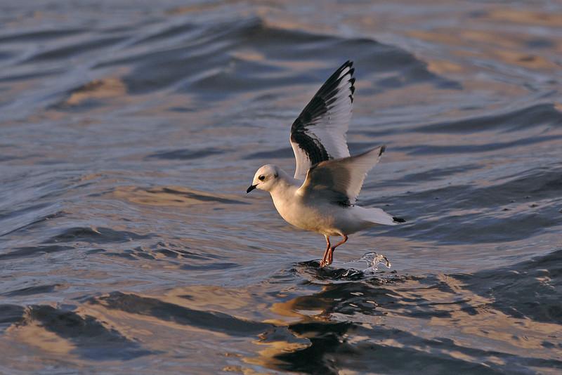Ross's Gull 1 Loch Caolisport December 2006