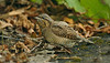 Wryneck 1 Horwich September 2005