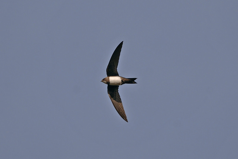 Alpine Swift Barnston April 2006