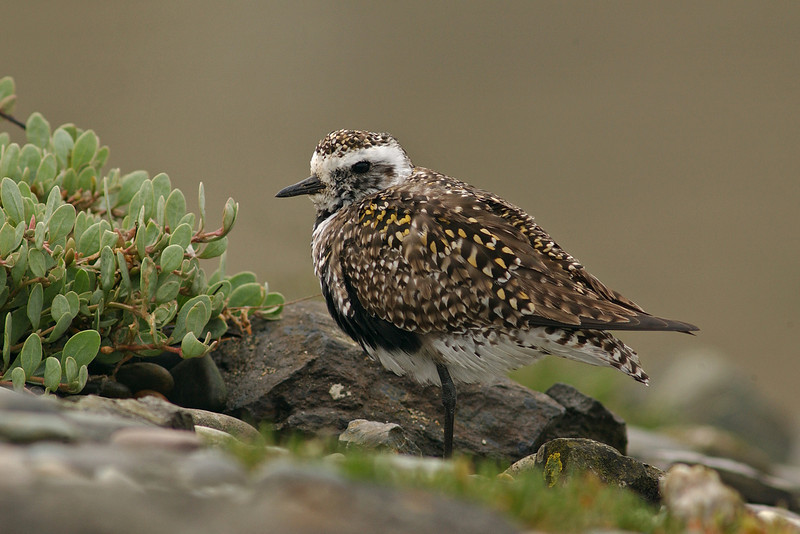 American Golden Plover Anglesey May 2005