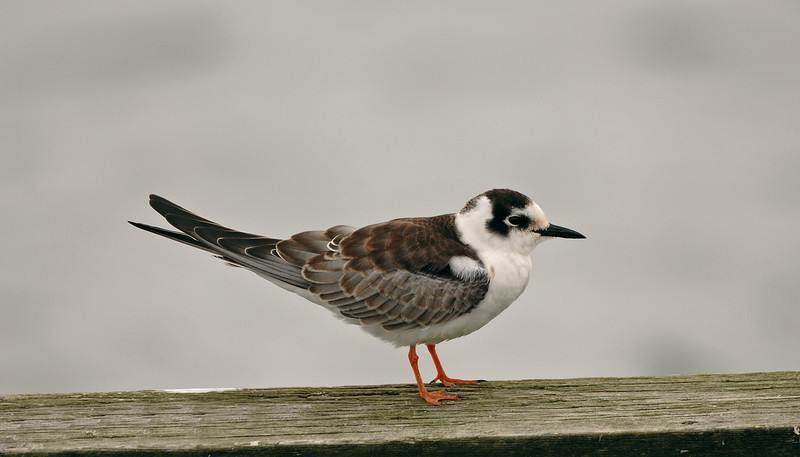 White-winged Black Tern 3 Crosby September 2005