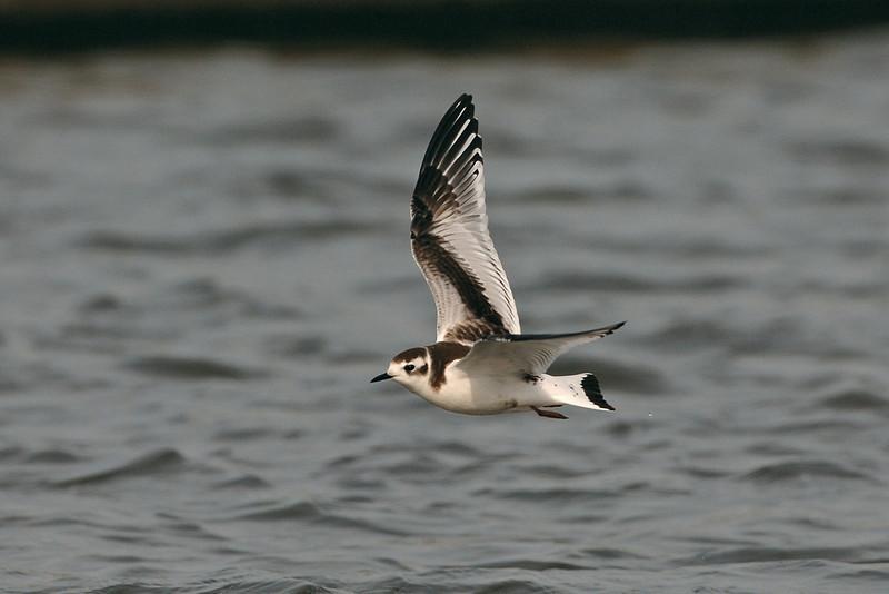 Little Gull juvenile 2 Crosby September 2005