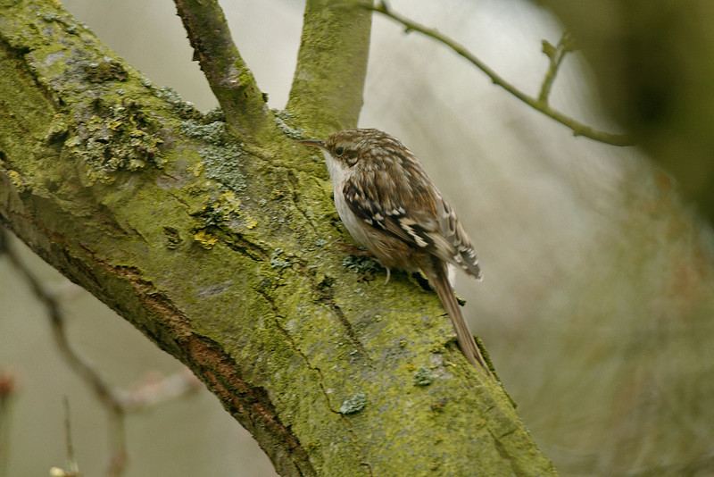Short-toed Treecreeper Bradwell April 2005