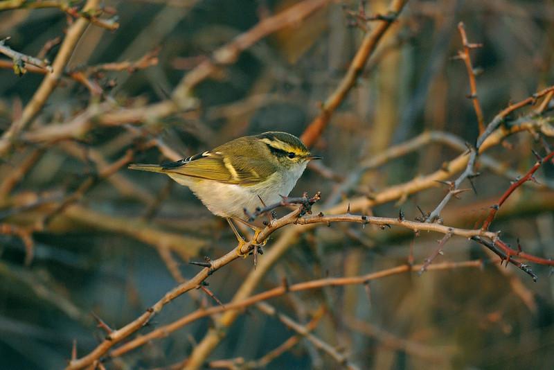 Pallas's Warbler 2 Hightown December 2006