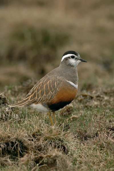 Dotterel 2 Pendle Hill April 2006