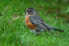 American Robin 1 Grimsby January 2004