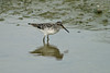 Broad-billed Sandpiper 1 Drayton Bassett June 2004