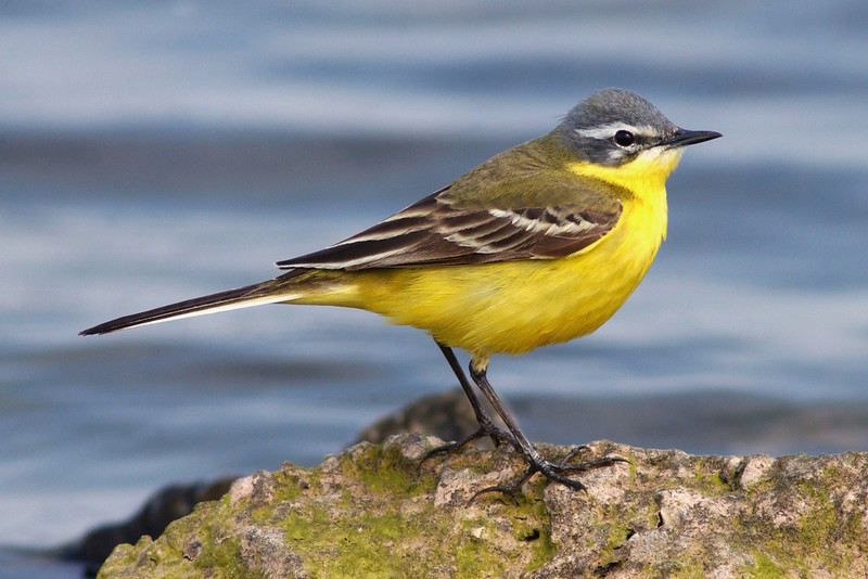 Blue-headed Wagtail Seaforth May 2004