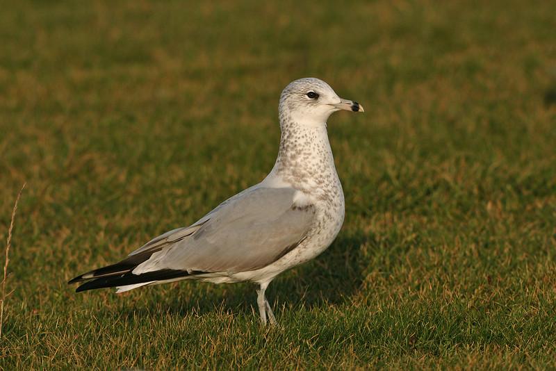 Ring-billed Gull 1 Coastguards November 2005