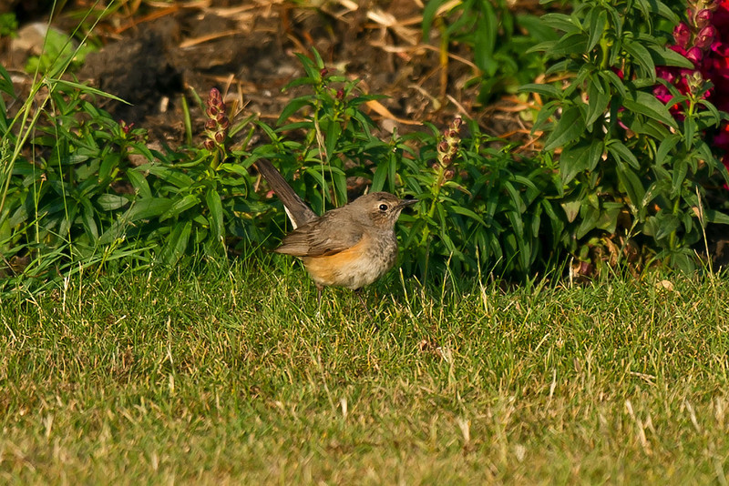 White-throated Robin 3, Hartlepool Headland June 2011