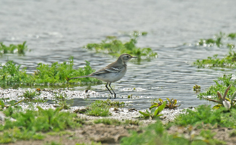 Citrine Wagtail 2 Seaforth August 2011