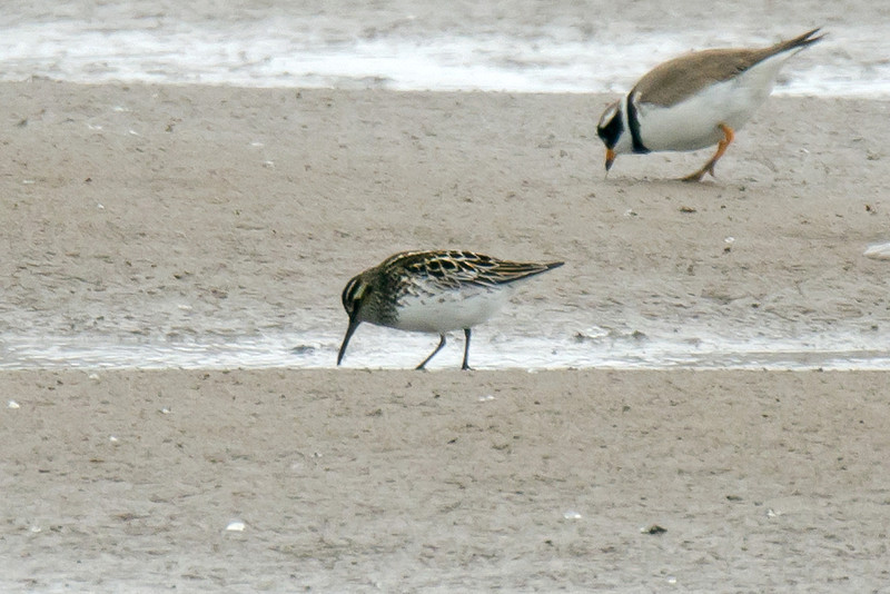 Broad-billed Sandpiper, Meols Cheshire May 2011