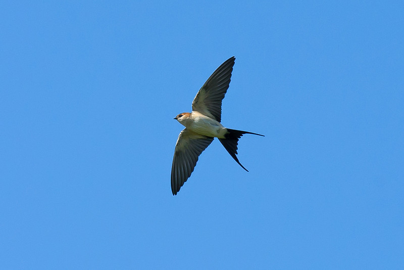 Red-rumped Swallow 1 Leasowe May 2011