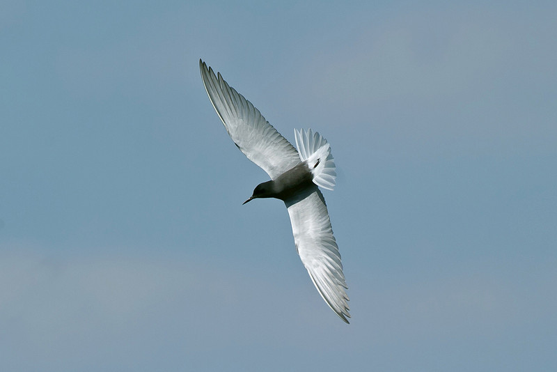 Black Tern Seaforth May 2011