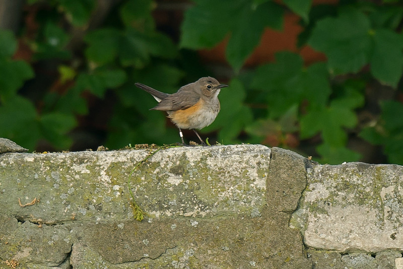 White-throated Robin 2, Hartlepool Headland June 2011