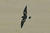 Leach's Petrel 2 River Mersey September 2010