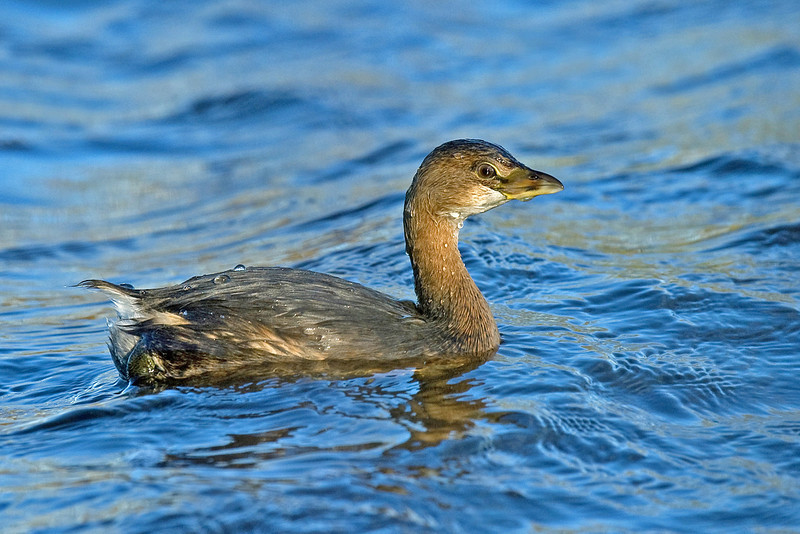 Pied-billed Grebe 2 Hollingworth Lake November 2010