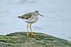 Greater Yellowlegs 1 Hauxley November 2011
