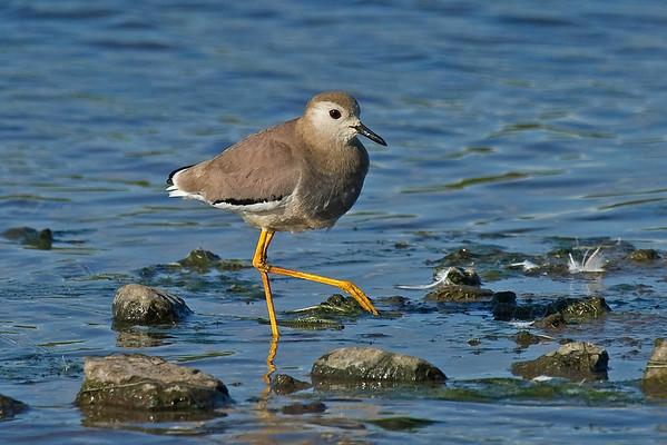 UK Rare/Scarce Birds 2010-2011