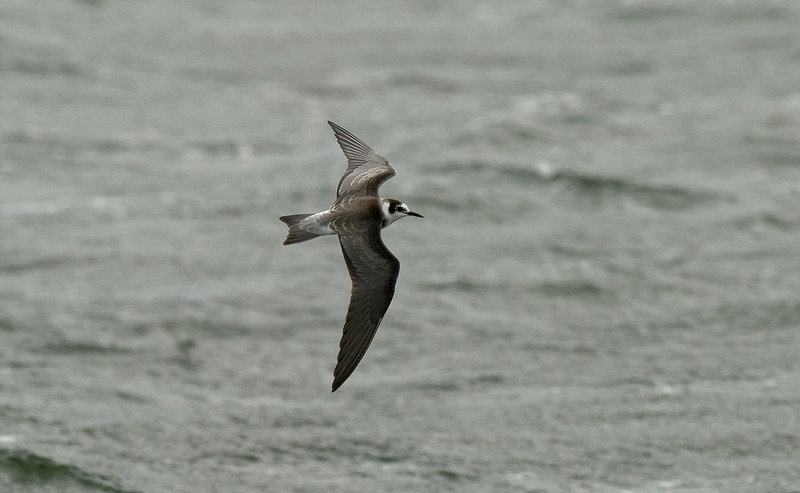 Black Tern juvenile Seaforth September 2011