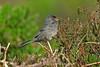 Marmora's Warbler Blorenge June 2010