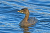 Pied-billed Grebe 1 Hollingworth Lake November 2010