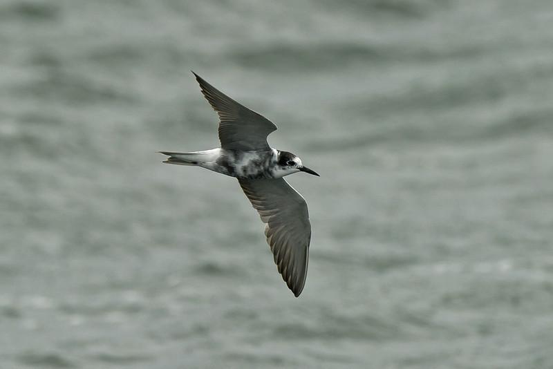 Black Tern adult Seaforth September 2011