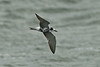 Black Tern adult Seaforth September 2011