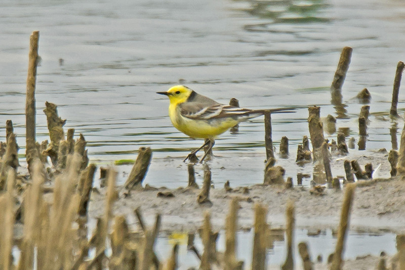 Citrine Wagtail Conway RSPB May 2011