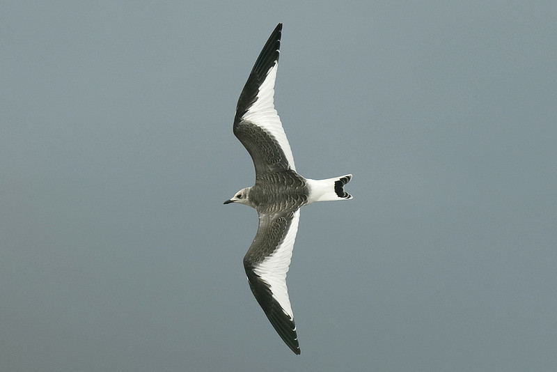 Sabine's Gull juvenile River Mersey September 2010