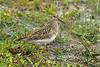 Pectoral Sandpiper Marshside RSPB September 2010