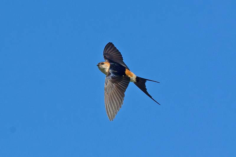 Red-rumped Swallow 2 Leasowe May 2011