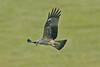 Black Kite 1 Gigrin Farm Wales February 2010
